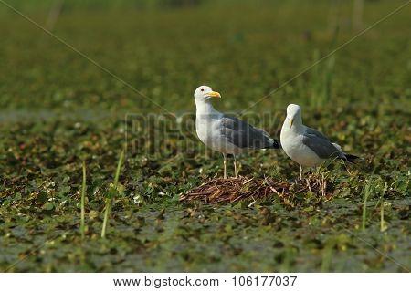 Caspian Gulls On The Nest