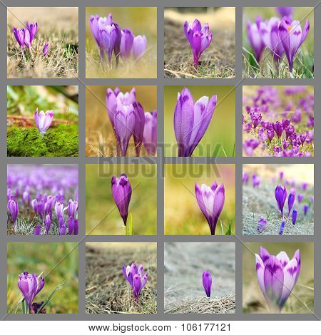 Collection Of Wild Saffron Images