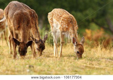Fallow Deer Herd Grazing