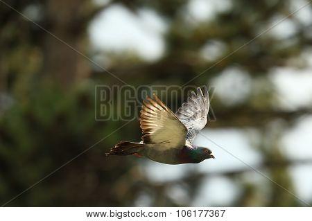 Feral Pigeon In Flight