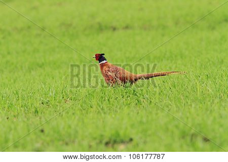 Male Pheasant On Green Lawn