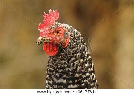 Mottled Hen Portrait