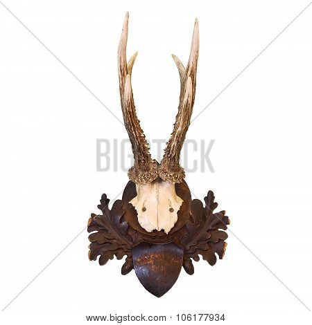 Roe Deer Hunting Trophy