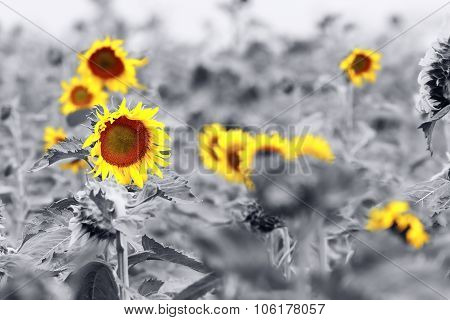 Sunflower Field Abstract View