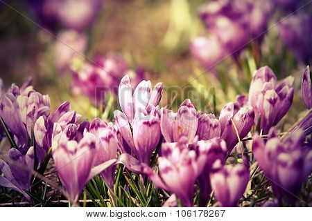Vintage View Of Spring Crocuses