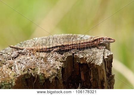 Viviparous Lizard Basking On Tree Trunk