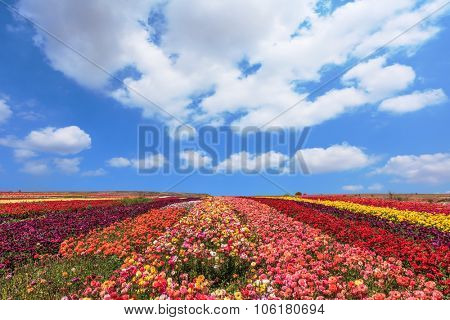 Spring fine day. Field of multi-colored decorative flowers buttercups Ranunculus.  Flowers planted with broad bands of different colors