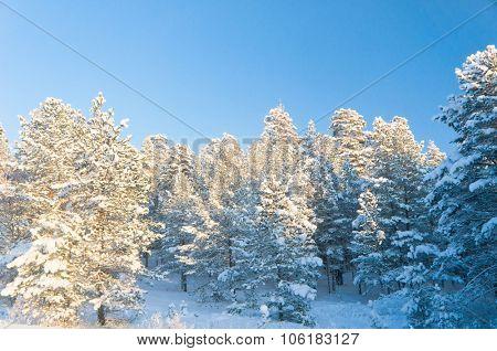 Frozen Woods Sunny Winter