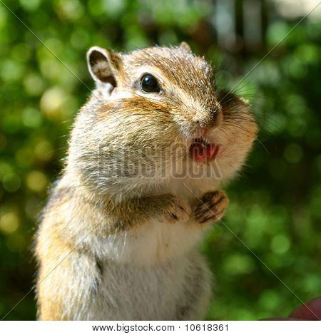 Portrait of a chipmunk