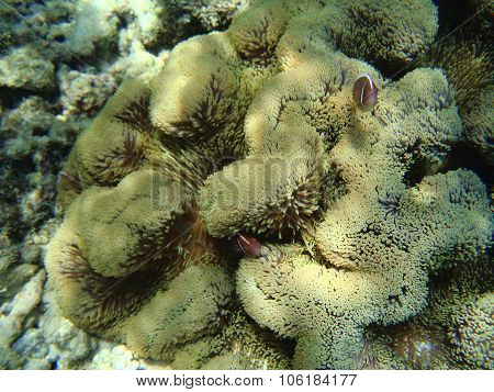 Clownfishes And Anemone