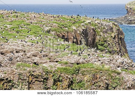 Puffin Seabird Colony In Newfoundland