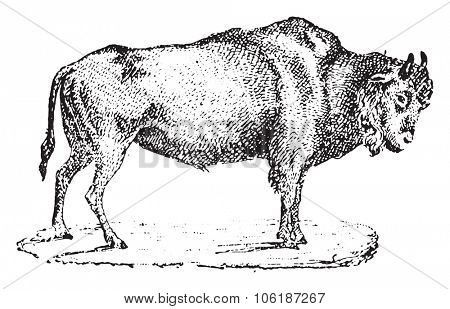 Aurochs, vintage engraved illustration. Dictionary of words and things - Larive and Fleury - 1895.