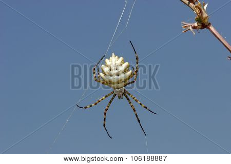 Spider Web Spider Of The Genus Argiope. The Poison Paralyzes Argiopy Invertebrates And Vertebrates