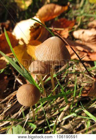 fragile mushroom
