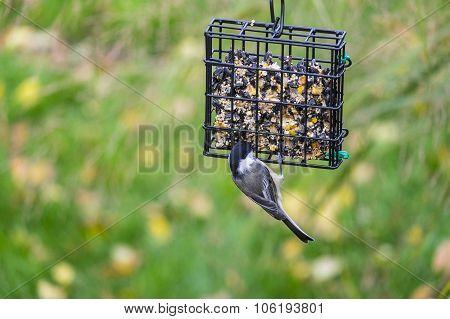Black-capped Chickadee Feeding on Seed Cake