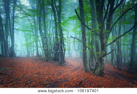 Trail through a mysterious dark old forest in fog. Autumn morning in Crimea. Magical atmosphere