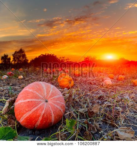 pumpkins on evening field against sunset background