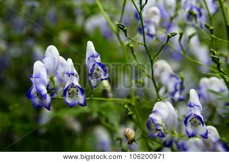 Bicolor Monkshood Flower Is Toxic Beauty