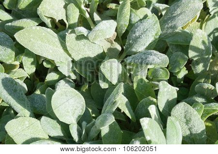 Lanate lamb's ear leaves close-up