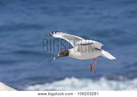 Swallow Tailed Gull In Flight
