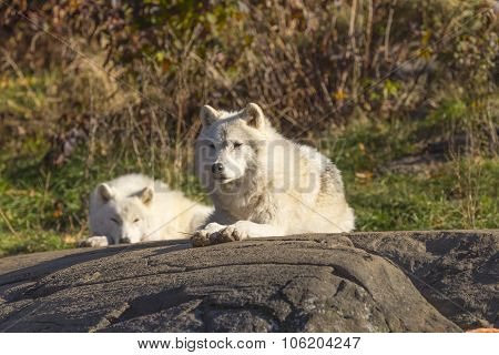 Arctic Wolves In The Woods