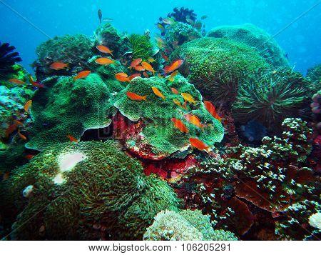 Giant Sea Anenome Underwater Bali