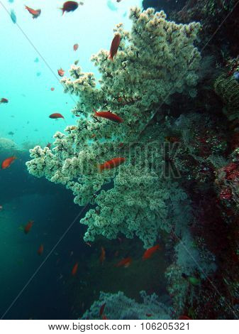 Live White Coral Underwater Bali