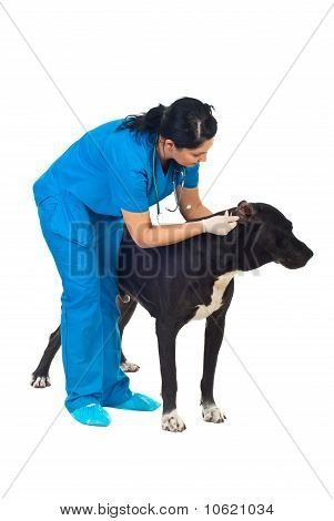 Veterinary Check Dog Ears