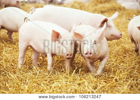 two young piglet on hay and straw at pig breeding farm