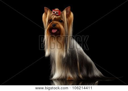 Yorkshire Terrier Dog With Long Groomed Hair Sits On Black