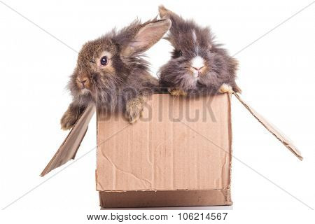 Two adorable lion head rabbit bunnys sitting in a cadboard box.