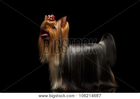 Yorkshire Terrier Dog Showing Tongue On Black