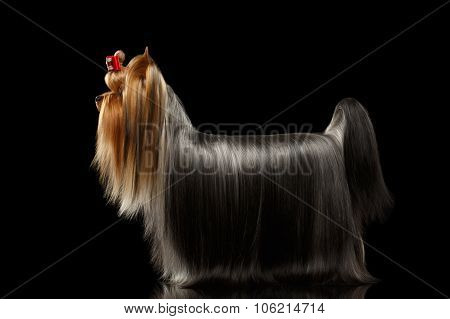 Yorkshire Terrier Dog With Long Groomed Hair Stands On Black