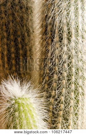 Cactus With Hair Like Spikes