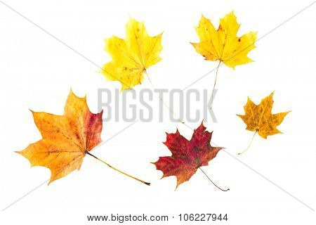 nature, season, autumn, color palette and botany concept - dry fallen maple leafs