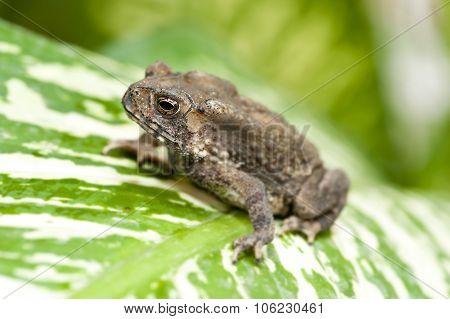 Common Indian toad Duttaphrynus melanostictus on native plant leaf Asia