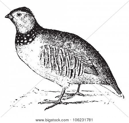 Rock partridge, vintage engraved illustration. Dictionary of words and things - Larive and Fleury - 1895.