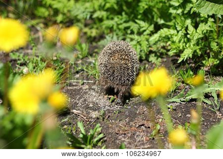 prickly hedgehog out