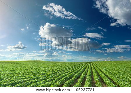 Soybean Fields At Idyllic Sunny Day