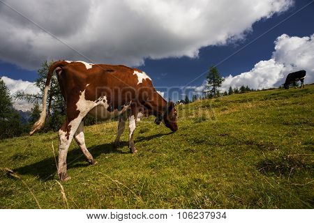 Cow Grazing In A Meadow, Mountain Landscape On Background