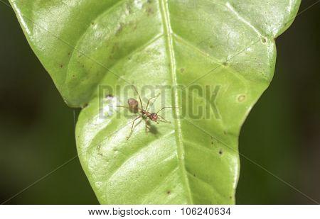 Leaf Cutter Ant On Mango Leaves Asia