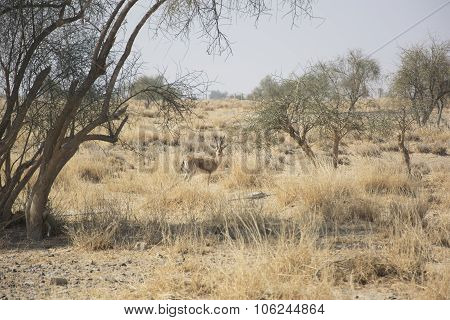 Chinkara, also known as the Indian Gazelle