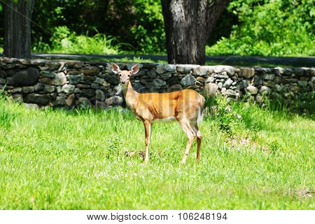 A White Tail Deer In The Wild