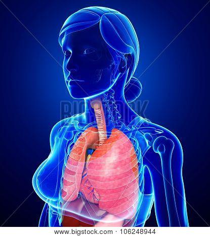 Female Respiratory System