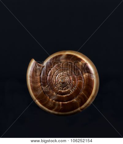 ea shell isolated in black,Marine sea shell in a studio setting against a dark background. Sea shell