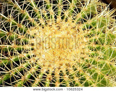 Ramat Gan Park Echinocactus Closeup 2010
