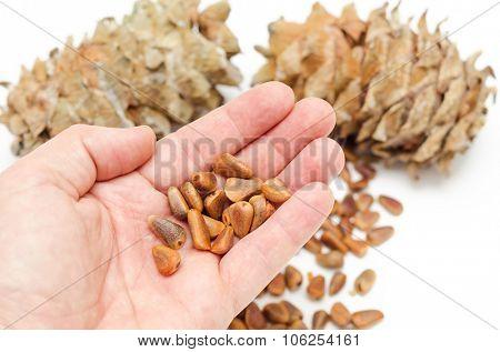 cedar nuts in hand over cones