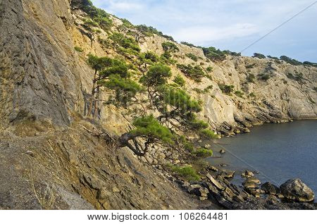 Relic Pine Trees On The Seashore. Crimea.