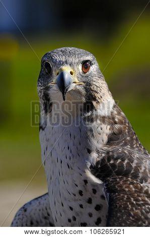 Gyrperegrine Falcon