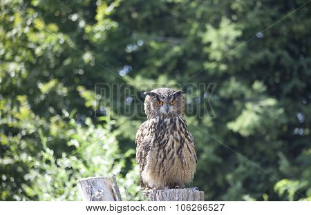 Great Horned Owl With Green Tree Background